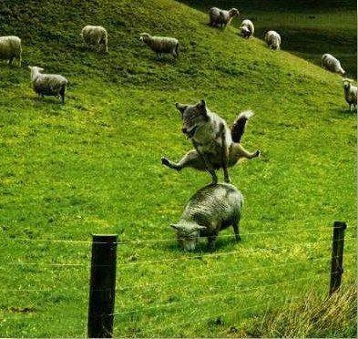 گرگ و گوسفند